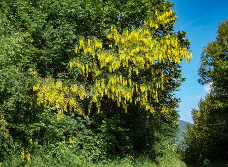 Alberi e fiori: Il maggiociondolo